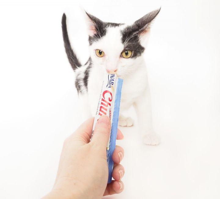 Cat for adoption - KITTENS!, a Domestic Short Hair & Domestic Medium