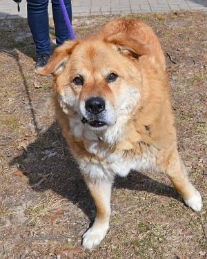 Dog for adoption - Damascus, a Chow Chow Mix in Huntington
