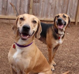 Look at these gorgeous girls Margo and Mallory are amazing dogs looking for a very special home