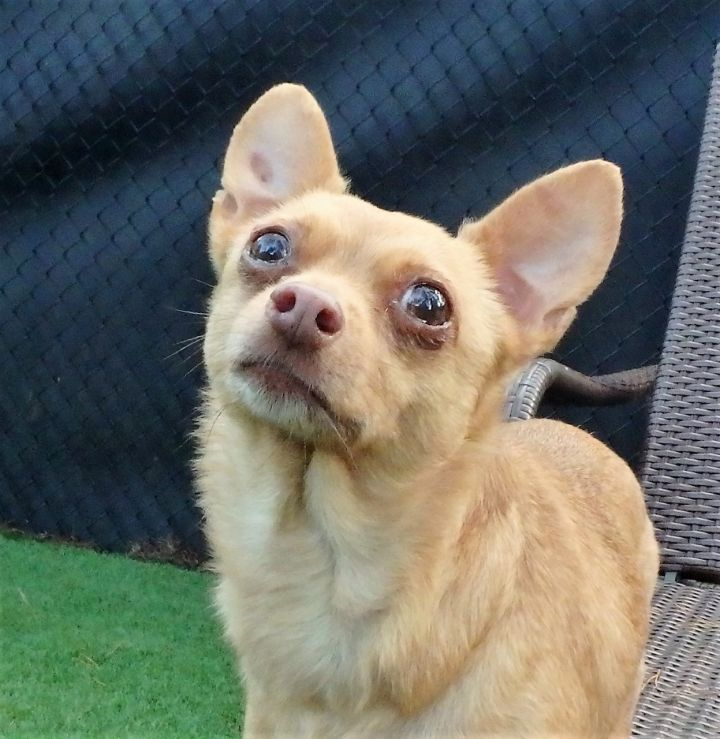 Lilly Mae, an adoptable Chihuahua in Palm Harbor, FL