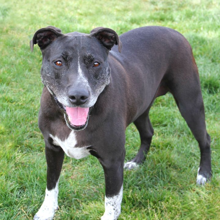 Jenni, an adoptable Pit Bull Terrier Mix in Clovis, CA