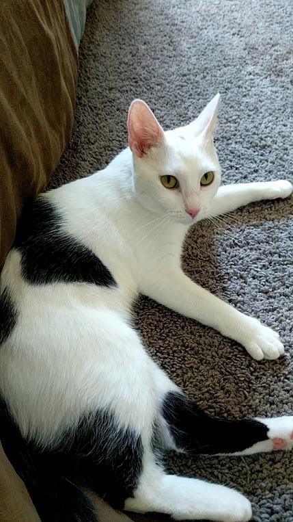 Snowball, an adoptable Domestic Short Hair in Waverly, IA