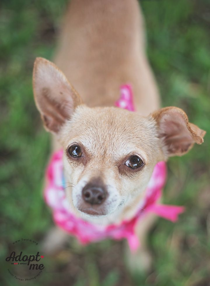 Izzy, an adopted Chihuahua in Kingwood, TX