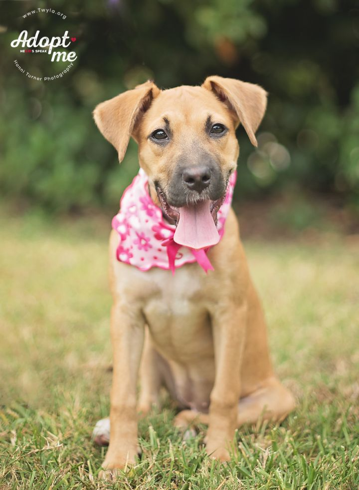 Scarlett, an adopted Boxer Mix in Kingwood, TX
