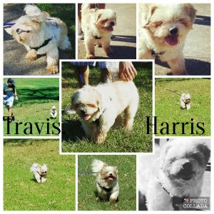 Travis Harris Turner Lhasa Apso Dog