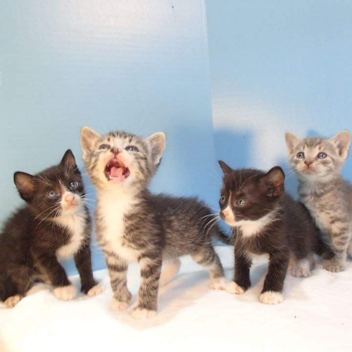 Kittens!, an adoptable American Shorthair in Hammond, LA