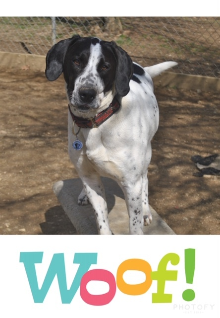 Zeke, an adoptable English Pointer in Feasterville, PA