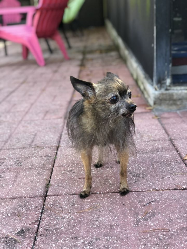 Maximillion, an adoptable Yorkshire Terrier & Cairn Terrier Mix in Palm Harbor, FL
