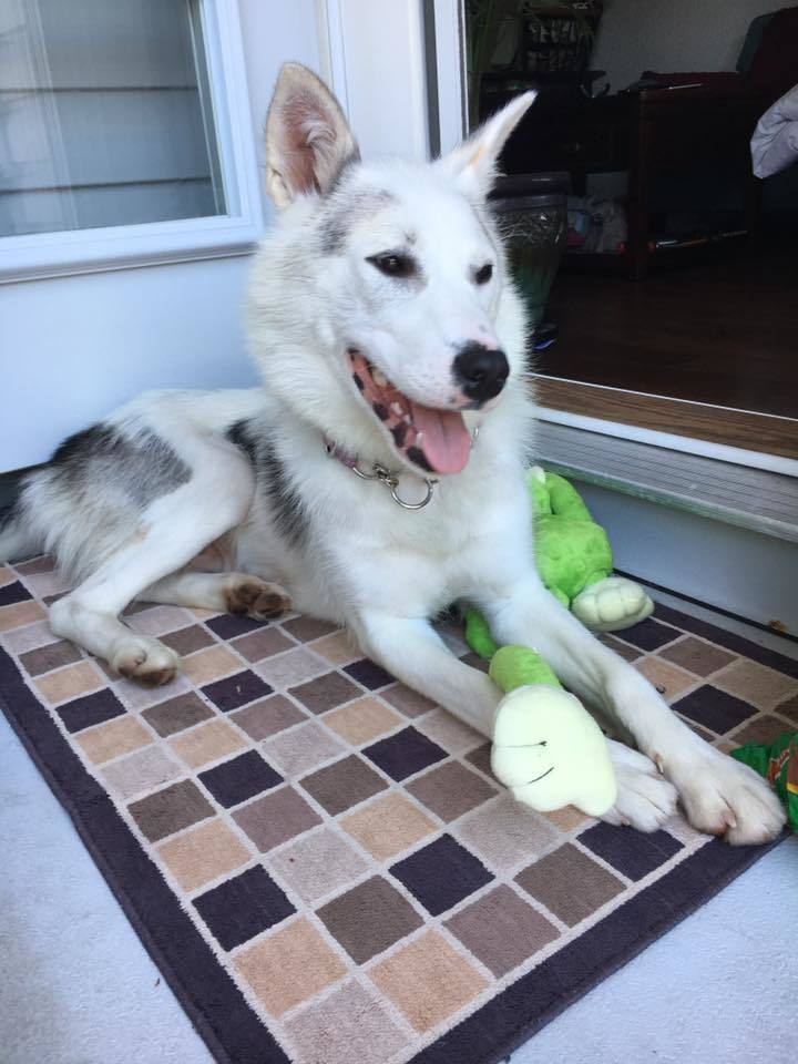 Shilo, an adopted Husky Mix in Pitt Meadows, BC
