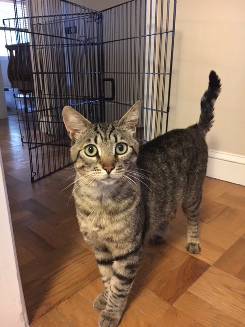 Sawyer, an adopted Domestic Short Hair & Tabby Mix in Stanford, CA