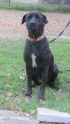 Labrador Retriever Dog: Betty