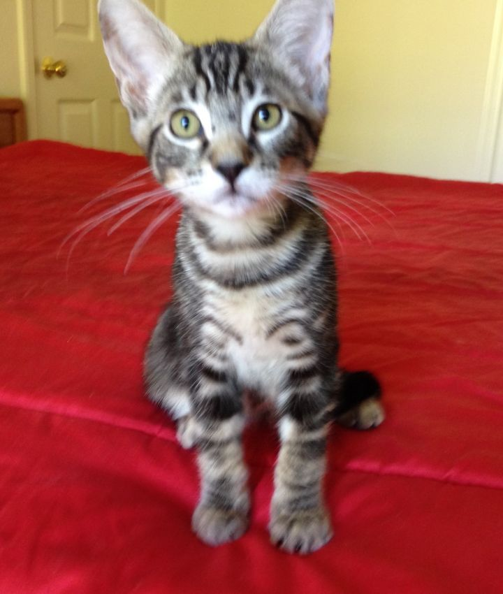 Grover, an adopted Tabby Mix in Stanford, CA