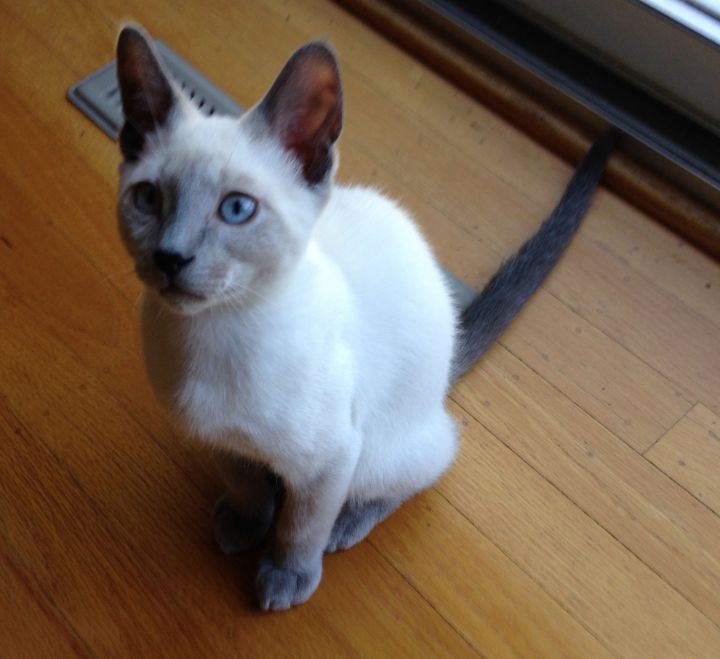 Gril, an adopted Siamese & Domestic Short Hair Mix in Stanford, CA