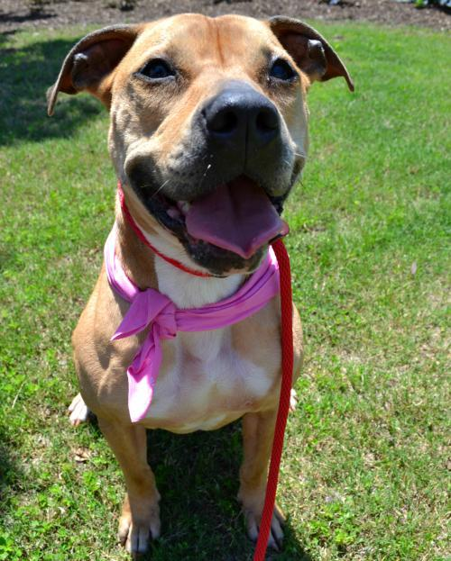 Momma, an adoptable Pit Bull Terrier Mix in Dallas, GA