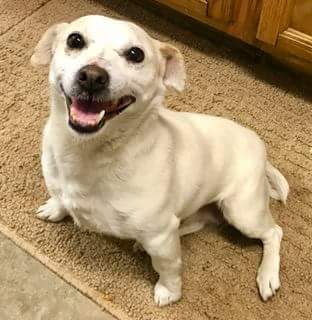 Sweetie, an adopted Parson Russell Terrier Mix in Carsonville, MI