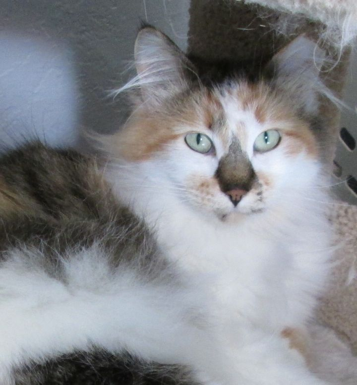 Challenge, an adoptable Calico in Buhl, ID