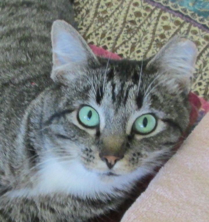 Jacqueline, an adoptable Tabby in Buhl, ID