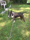 Bull Terrier Dog: Vera