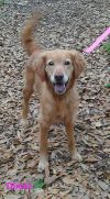 Golden Retriever Dog: Dixie2 has been adopted!!