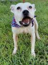 Border Terrier Dog: JULIET