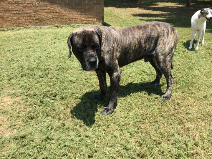 Big Foot, an adopted Mastiff in Shreveport, LA