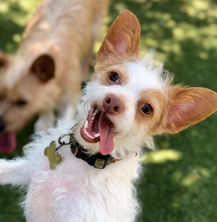 Winston, an adoptable Parson Russell Terrier & Corgi Mix in Beverly Hills, CA