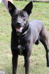 Labrador Retriever Dog: Kojak