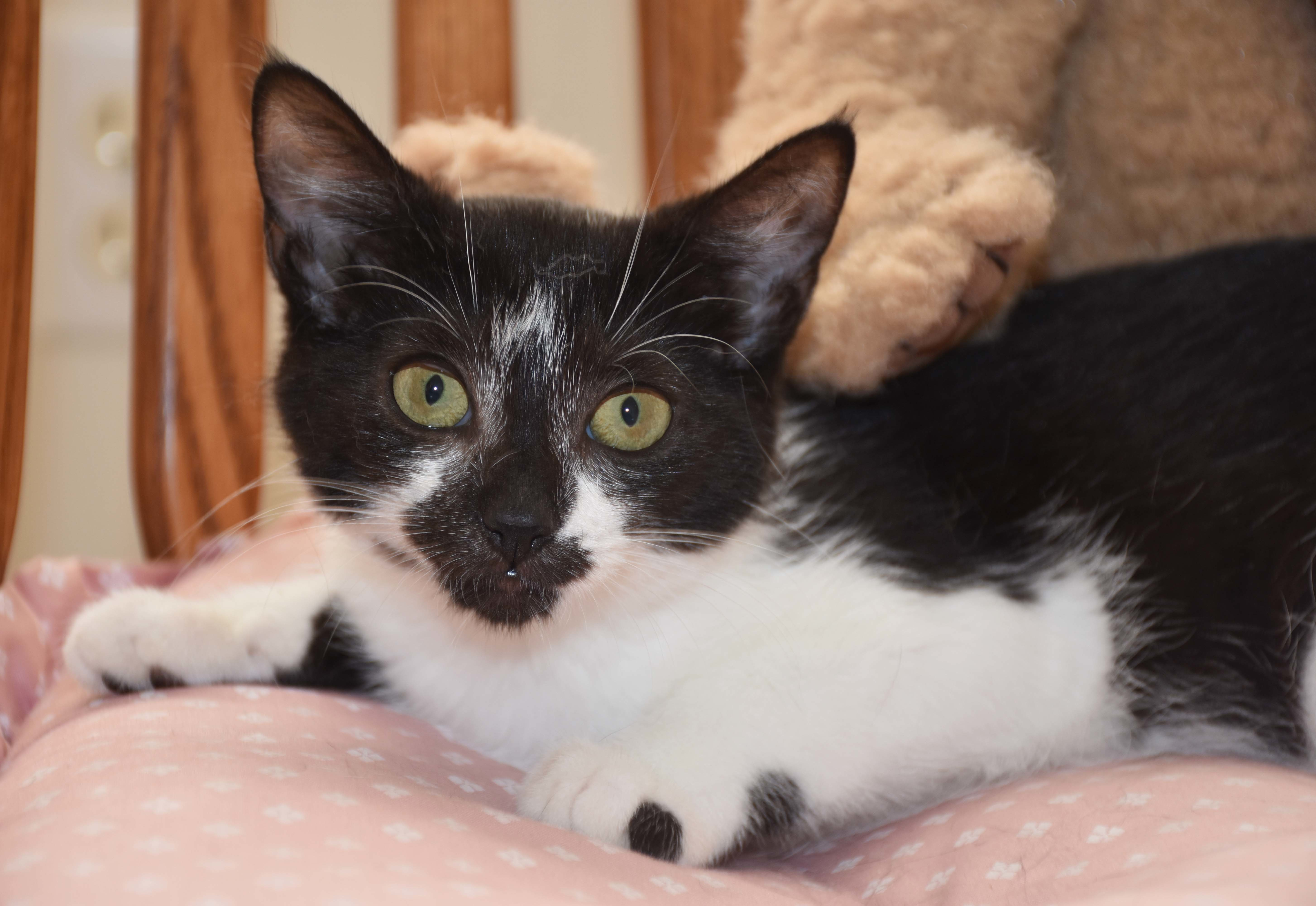 Cat for Adoption – Marshmallow near Rocky Hill CT