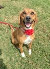 Bloodhound Dog: Ginger