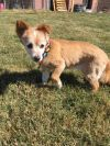 Shetland Sheepdog Sheltie Dog: Annie