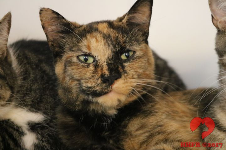 Amber, an adoptable Tortoiseshell in Manchester, MI