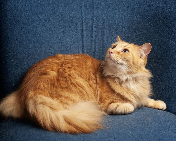 Squier, an adoptable Domestic Medium Hair in Springfield, IL