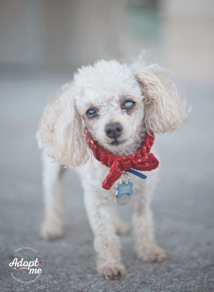 Rufio, an adopted Poodle in Kingwood, TX