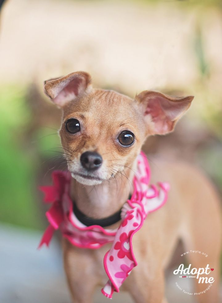 Hazel, an adopted Italian Greyhound & Chihuahua Mix in Kingwood, TX