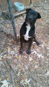 Labrador Retriever Dog: Raymond