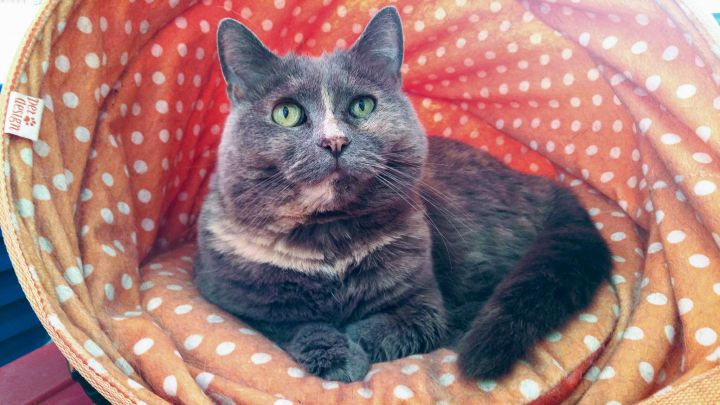 Mae West, an adopted Domestic Short Hair in Montreal, QC