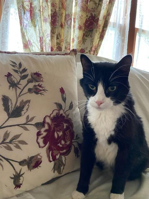 Hank, an adoptable Tuxedo & Domestic Short Hair Mix in Waverly, IA