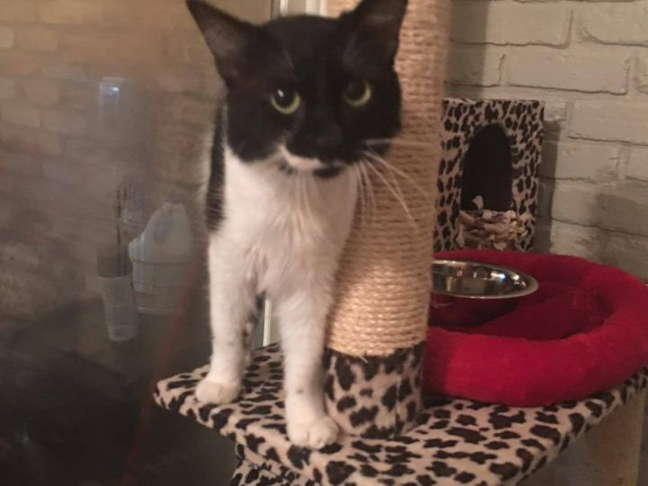 Oreo, an adoptable Domestic Short Hair Mix in Arlington, TX
