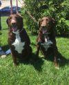Labrador Retriever Dog: Pixie & Dixie(white nose)