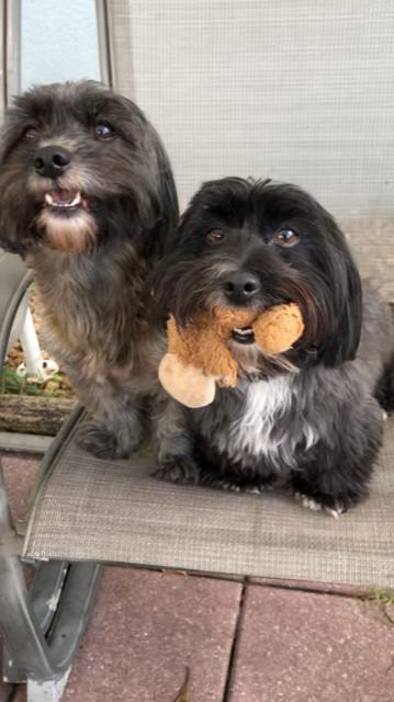 Dog For Adoption Caden Colt A Shih Tzu Terrier Mix In Davie