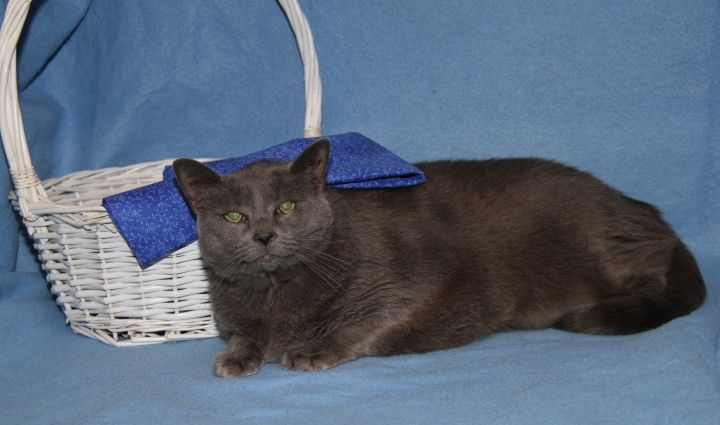 Cat for adoption - Boo Boo (Spayed & Declawed) - In Foster