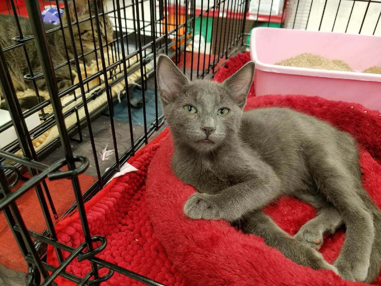 Cat for Adoption – Ash near Buena Park CA