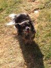 Beagle Dog: Pepper