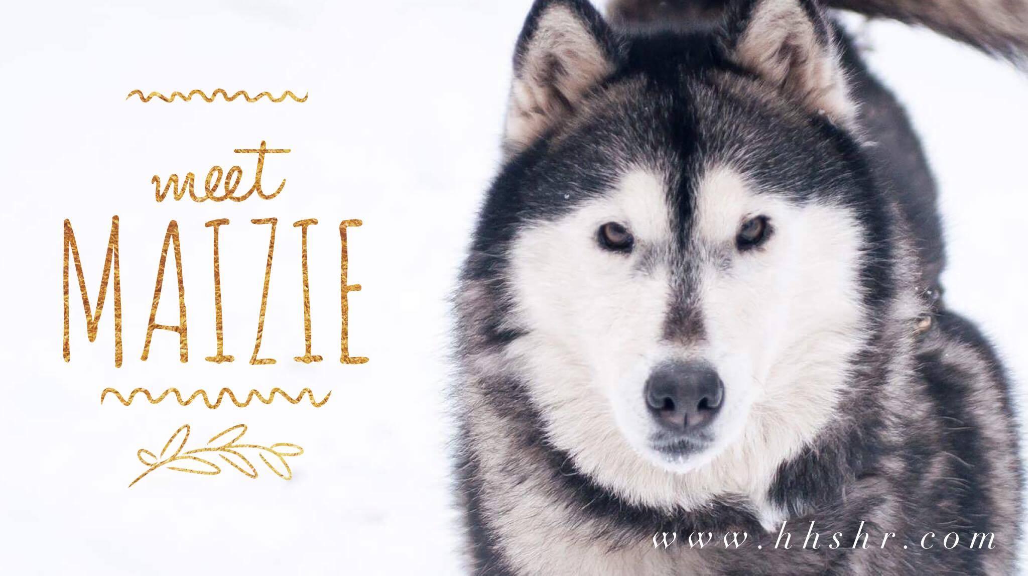 Dog for Adoption – Mazie, near Shingleton, MI | Petfinder | Siberian Husky Puppies Adoption Michigan