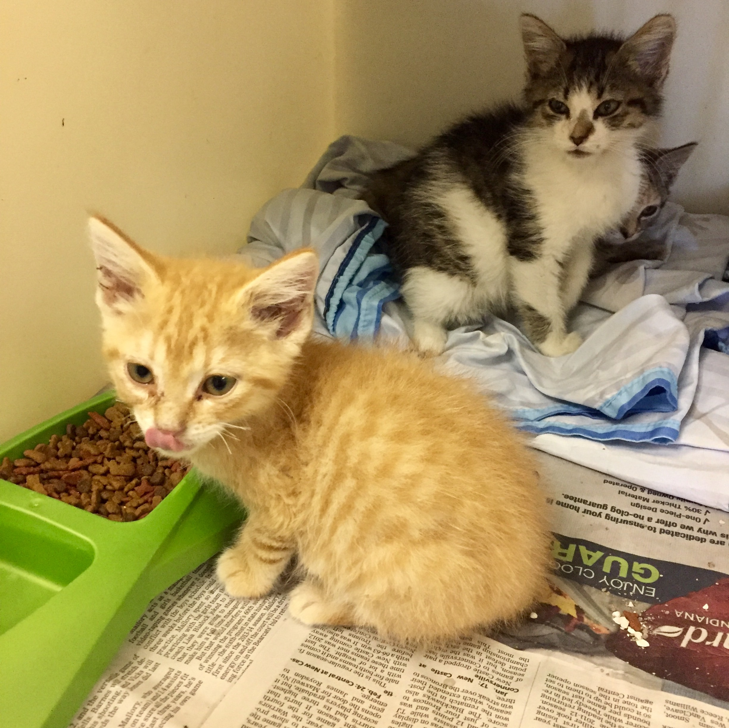 Cat for Adoption – Kittens Foster to Adopt near Muncie IN