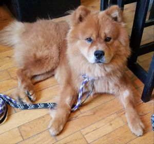 Dog for adoption - Simba, a Chow Chow in Dallas, GA | Petfinder