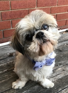 Carlton, an adoptable Lhasa Apso in Plano, TX