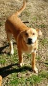 Golden Retriever Dog: Josh