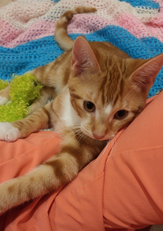 Cooper, an adopted Domestic Short Hair in Rochester, NY