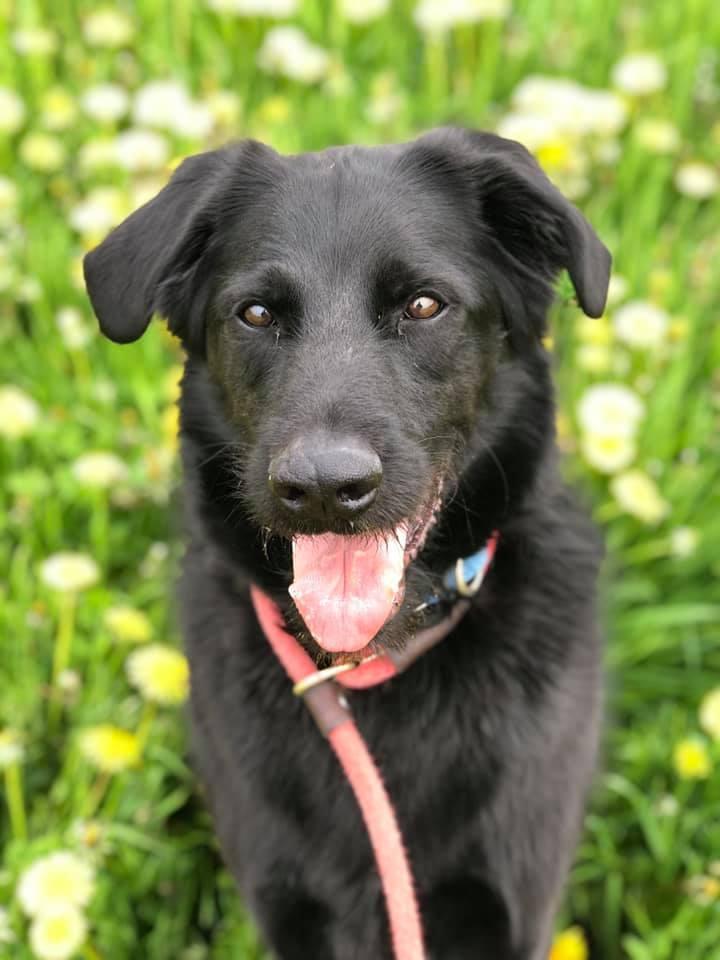 Poe, an adoptable Airedale Terrier & Labrador Retriever Mix in Lake Odessa, MI